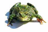 孤立的青蛙